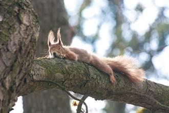 松鼠窗邊偷築巢 攝影師拍全家福熟睡照 網全融化