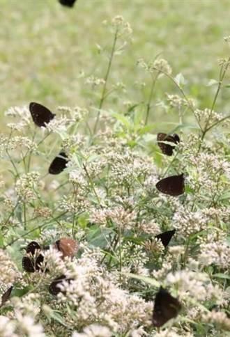 竹南海岸林維護紫斑蝶食草實施不除草