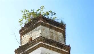 明代佛塔頂端長出榕樹 無土無水活100年且四季長青