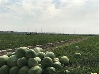 二崙西瓜節停辦 農糧署推網路行銷