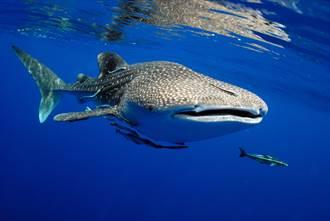 瀕危鯨鯊港口驚喜現身 向漁民討食罕見畫面曝光