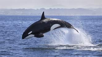 遊客出海賞鯨 目睹「海豚遭虎鯨獵殺」拋向高空  全場嚇傻