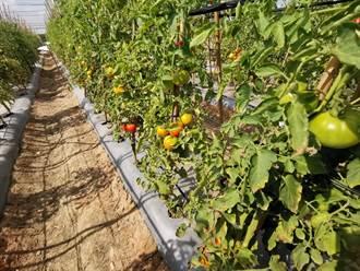對抗植物界的新冠病毒 亞蔬發表多重抗病基因番茄新品種