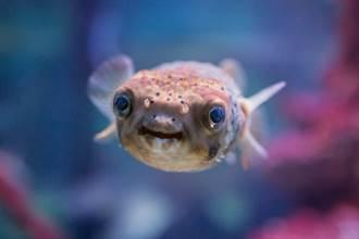 攝影師潛水遇好奇河豚近距離接觸 28秒自拍片曝網全融化