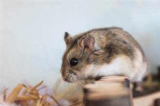 毛孩讀心術》過世三線鼠狂喊1名字 寵物溝通師一問秒頭皮發麻
