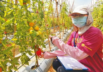 亞蔬新品種番茄、南瓜 抗病多產