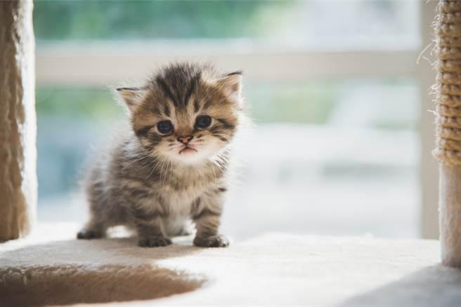 小貓玩毛線球玩到斷電,竟睡歪摔倒在地上,下秒被此舉嚇醒趕緊起身,保持鎮定的模樣非常可愛。(示意圖/達志影像)
