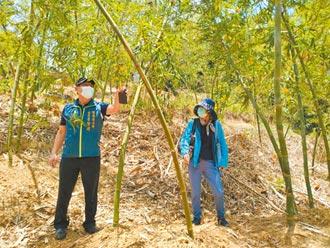台南綠竹筍3產地 乾旱災損超過2成