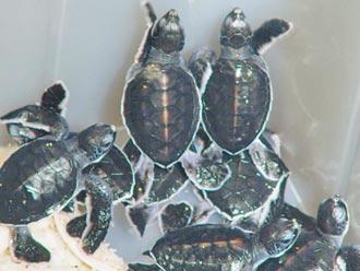 迎接繁殖季 澎湖整治绿蠵龟育婴房