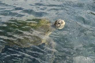 5月23日世界烏龜日 遇野生烏龜通知協力單位讓牠們回歸