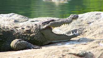 遊客丟肉塊餵食 凶猛巨鱷張大嘴猛咬下秒糗了