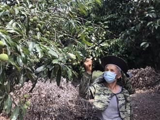 荔枝遇旱慘變「花生米」 竹崎上百農民欲哭無淚 急申請現金救助