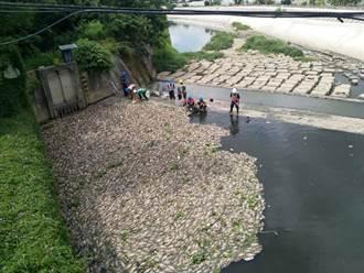 久旱不雨河川溶氧量低 桃市水務局清出6萬條死魚