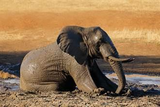 大象跌深溝挖土機神救援 眾人放鞭炮慶祝 牠1舉動引激辯