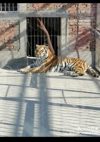 兩隻老虎咬死河南淅川飼養員 出逃遭擊斃