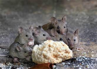 料理鼠王現身 屋主抓到老鼠請吃大餐 牠下秒舉動萌翻百萬人