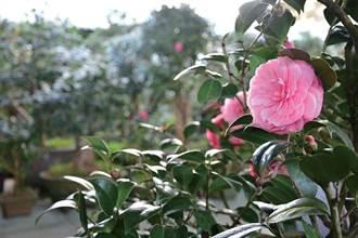 全台最大茶花園 明月居茶花山莊
