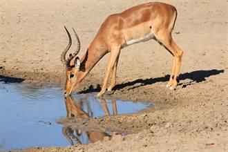 黑斑羚遭野犬圍剿受困水坑 急踩河馬求救仍逃不過死劫