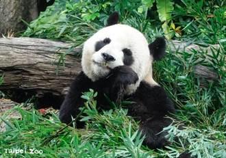 动物园大猫熊一家惊呆萌 看保育员「这样防疫」吓到保持社交距离