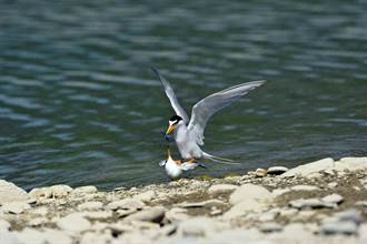 小燕鷗交尾 鳥友戲稱「鳥與鳥的連結」