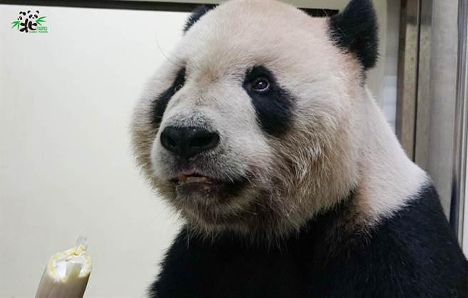 「團團」首次看到戴面罩的保育員,露出驚呆的表情,模樣非常可愛。(圖/臺北市立動物園提供)