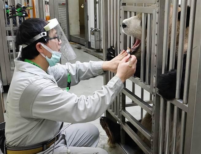 保育員在接觸大貓熊時,會戴上面罩做好防疫措施,沒想到「團團」第一次看到戴面罩的保育員,當場在原地嚇傻。(圖/臺北市立動物園提供)