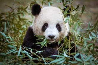大貓熊可不是吃素的 拍到與黑熊共食羚牛 抱骨頭狂啃