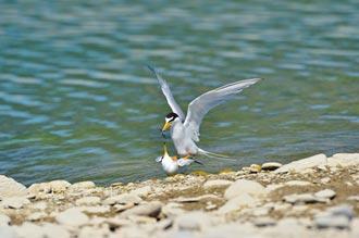 台東鳥與鳥的連結 小燕鷗上演野外春宮