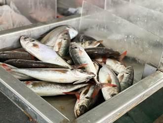 台東富岡漁市價格下滑5成 漁民:政府每月補助1萬也不夠