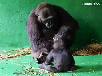 金剛猩猩呷百二當哥了 好奇猛盯手足 全家輪流探視寶寶
