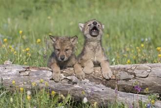 聽到狼嚎也想跟著叫 幼崽首次發出嗷嗚 超萌奶音融化專家