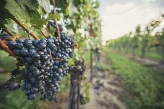 美酒醉人 加拿大有機生態葡萄酒釀造