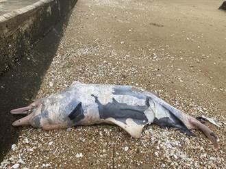 海洋悲歌再起 金門海灘又發現1隻死亡鯨豚