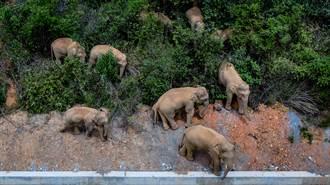 雲南亞洲象群繼續往北  離昆明城區僅50公里