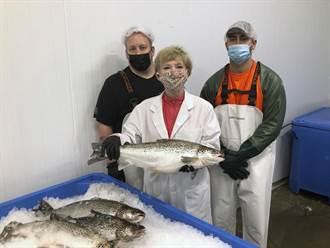 美國餐廳引進基改鮭魚 可減少野生鮭的撈捕量