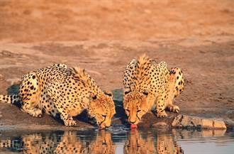 獵豹逃得像陣風 河邊喝水遭鱷魚偷襲 下秒神脫困遊客驚呼