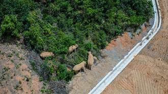 亞洲象雲南一路向北 科學新推測:地磁暴致其遷徙本能覺醒