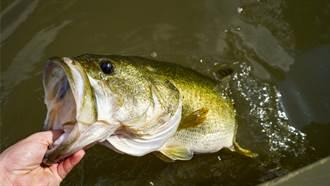 釣到金鱸魚以為病變 釣客合照後放生 專家驚:機率僅百萬分之一