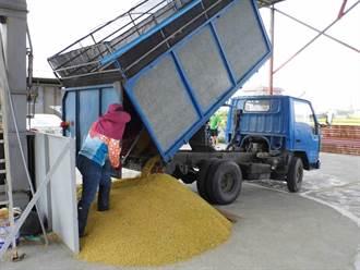一期作停灌休耕溼穀價格上漲 農民嘆:有水卡重要