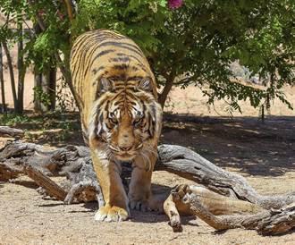 孟加拉警方逮捕「老虎殺手」 他已殺害70隻老虎