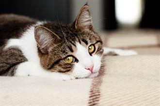 毛孩讀心術》加拿大封城飼主急返台 和愛貓1年未見竟天人永隔
