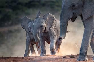 見大象散步遇猛虎憂交戰 結局反轉 專家:果然森林之王
