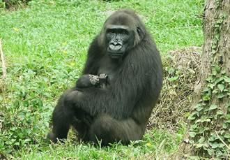 金刚家族家有喜事 金刚猩猩「迪亚哥」二次当爸