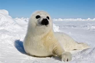 小海豹被棄養在冰上 誤認人類是媽媽 奮力向前爬討抱抱