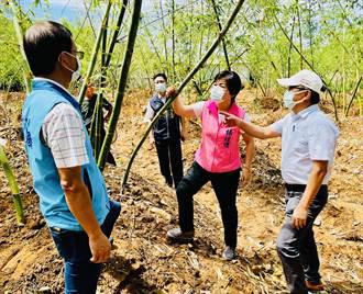 台中乾旱竹筍減產4成 楊瓊瓔爭取現金救助