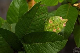 偽裝高手在樹叢間 找找看竹節蟲