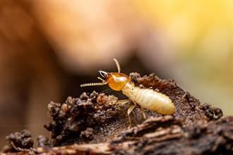 白蟻襲來!噴殺蟲劑會更慘 白蟻防治找錯方法可能整間壞光光