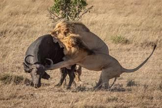 猛獅獵水牛勝算小 同伴加入戰局淹死牠 神合作全場佩服
