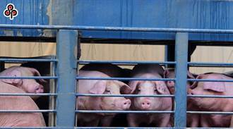毛豬價格飆破85元  農委會:仍屬合理價格