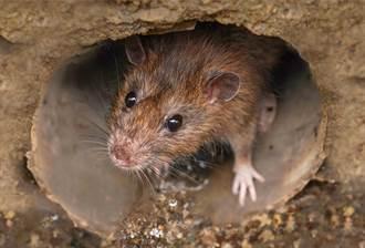 信義區淹水沖出老鼠 緊守浮板超慌張 無助神情網笑翻